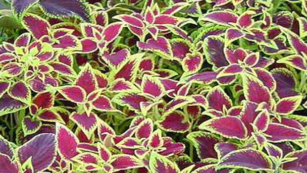 Coleus – the common houseplant