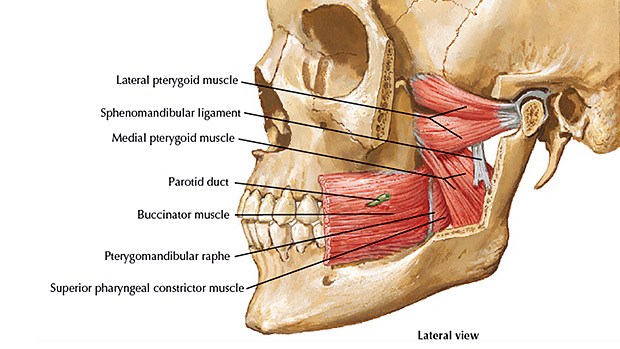Jaw Muscles
